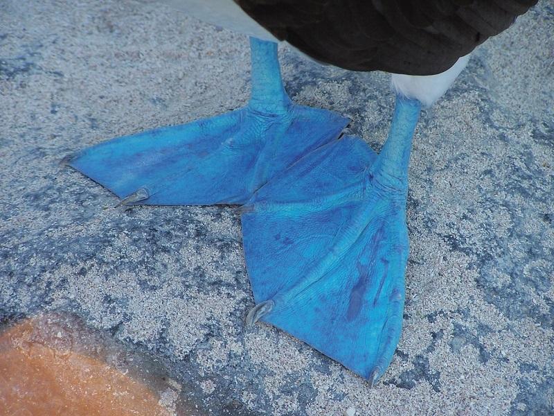 Galapagos Blue Feet (c) Press Center Celebrity Cruises