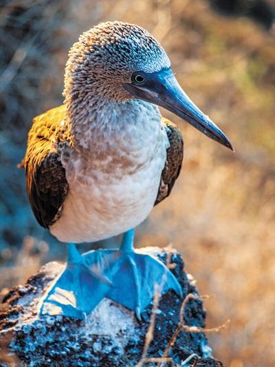 Galapagos Blue footed boobie (c) Press Center Celebrity Cruises