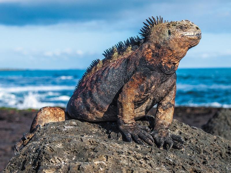 Galapagos Iguana (c) Press Center Celebrity Cruises