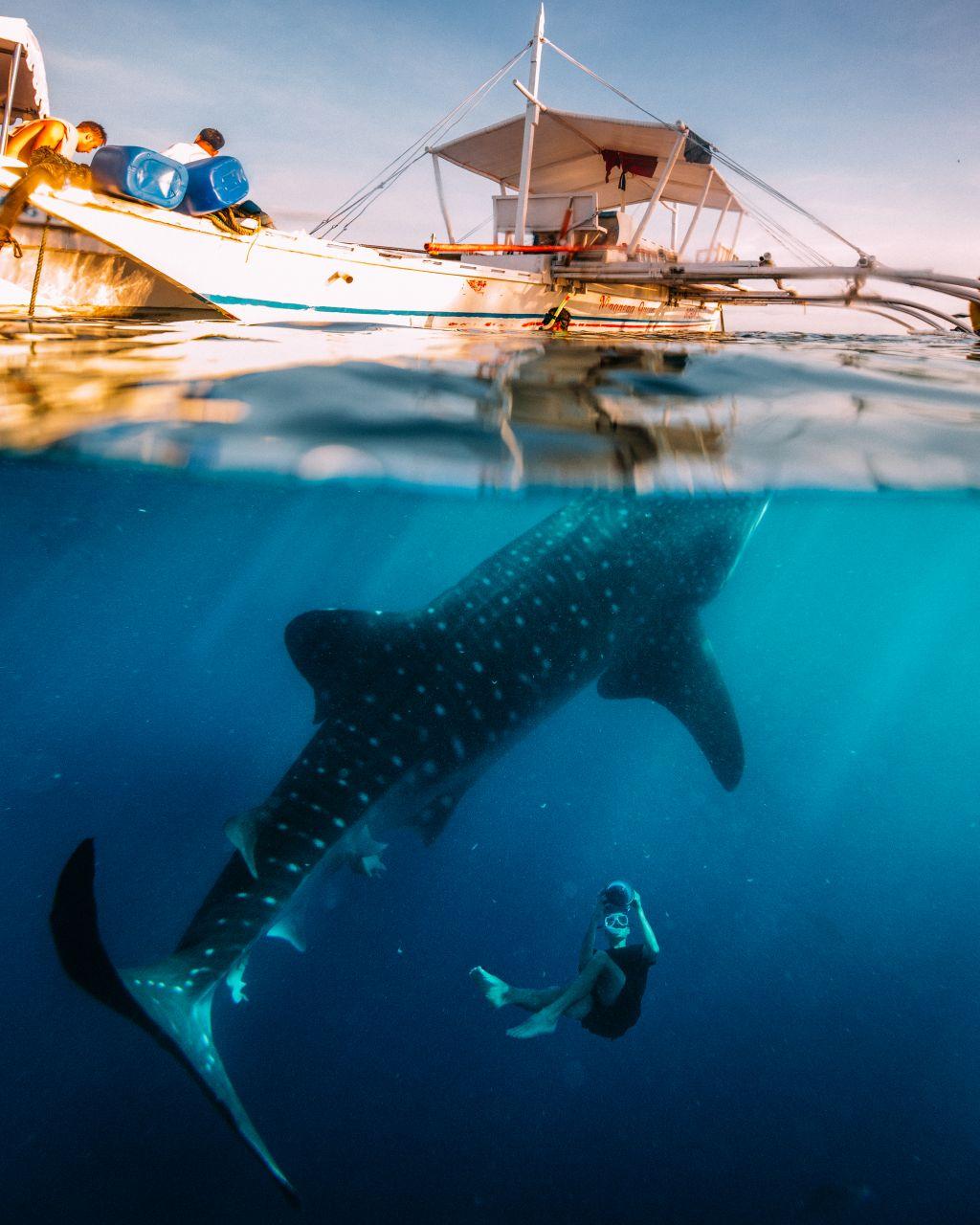 Die Philippinen gehören zu jenen Ländern, in denen eine Begegnung mit dem größten Fisch der Welt unter natürlichen Bedingungen möglich ist.